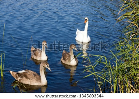 A family of swans swimming in the lake where one adult is the White Swan of parents. Three large but still in the gray plumage of the small swans
