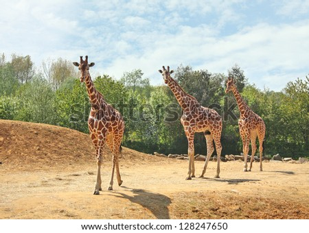 A family of three giraffes walking together in the wild.
