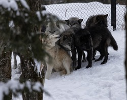 A family pack of grey captive wolves are in their fence enclosure socializing together just after a feeding.  On a cold winter morning in Canada.