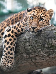 A far Eastern leopard rests on a tree after a successful hunt. This beautiful predator is one of the rarest animals in the world.