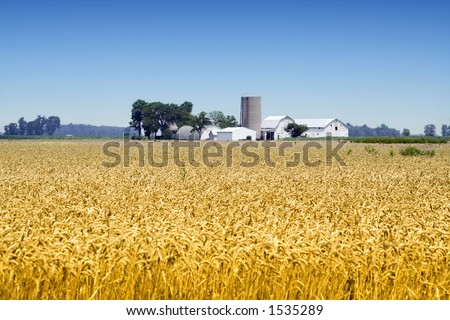A farm in the distance - wheat crops in foreground - located in Ohio.