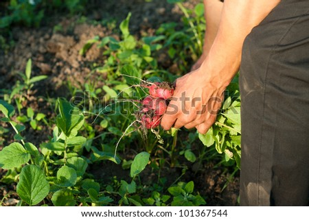 A farmer collects fresh radishes