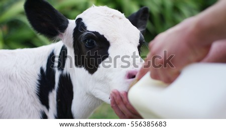 A farmer gives to drink a milk to calf cub by bottle to make it grow strong and robust healthy. A love for the calf and mostly vegan style. Concept love for animals, nature, and bio growth.