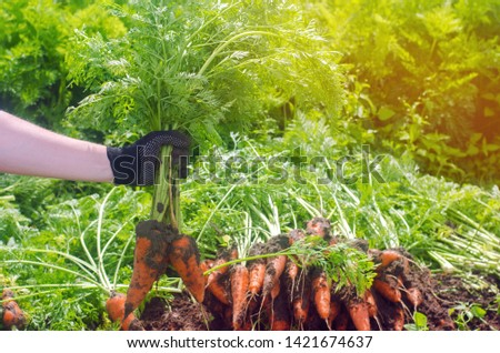 A farmer harvesting carrot on the field. Growing organic vegetables. Seacional job. Farming. Agro-industry. Agriculture. Farm. Ukraine, Kherson region. Freshly harvested carrots. Summer harvest