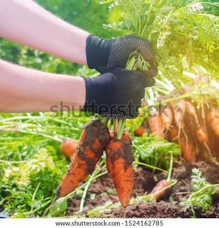 A farmer harvesting carrot on the field. Growing organic vegetables. Seasonal job. Farming. Agro-industry. Agriculture. Farm. Freshly harvested carrots. Summer harvest