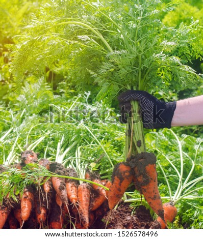A farmer harvesting carrot on the field. Growing organic vegetables. Seasonal job. Farming. Agro-industry. Agriculture. Farm. Freshly harvested carrots. Summer harvest #1526578496