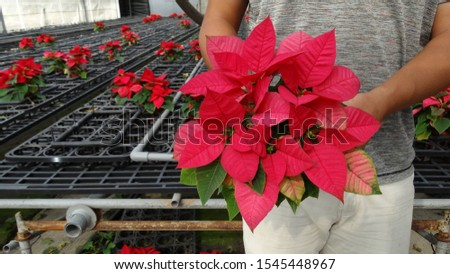 A farmer is holding a bunch of blooming poinsettia in the farm. The poinsettia is particularly well known for its red and green foliage and is widely used in Christmas floral displays.