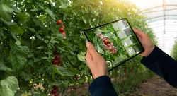 A farmer is holding a tablet on the background of a greenhouse with tomatoes. Smart farming and precision agriculture 4.0