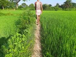 A farmer is walking in his paddy field. Paddy field under blue sky. Paddy, Organic Agriculture, Rice In The Field. grain in paddy field concept. close up of  green rice plant. Rice farming in India.