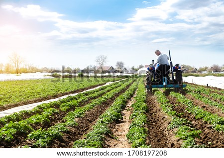 A farmer on a tractor cultivates the soil on the plantation of a young potato of the Riviera variety Type. Agricultural farm field. Loosening the soil to improve air access to the roots of plants.
