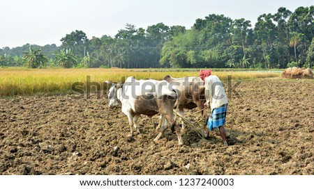 A farmer or cultivator is cultivating his field by using two oxen and plow for ploughing. The traditional method of agriculture.