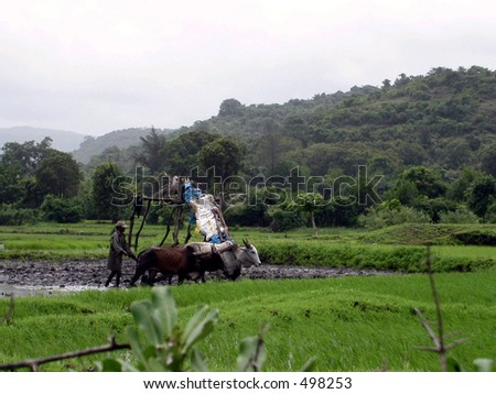 the farm on a bullock cart