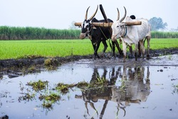 A  farmer plows his field with a pair of oxen in preparation for rice planting in India