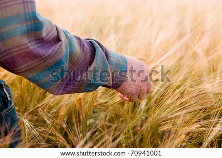 A farmer's hand looking at wheat ready to harvest - stock photo