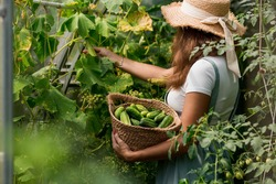 A farmer woman in a cotton apron tears cucumbers in a greenhouse into a wicker basket. The concept of harvesting. Summer and autumn on the farm are filled with organic themes. Close-up.