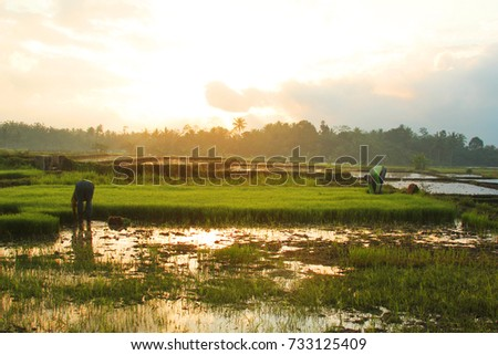 A farmer working at rice field in the morning sunrise #733125409