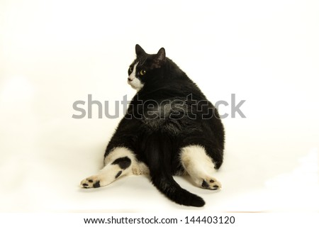A fat black and white cat photographed on a white background