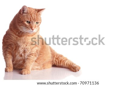 A Fat Orange Tabby Cat Poses on White with a Reflection and Room for Text