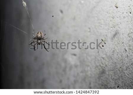 A fat, short legged spider sitting on its web facing downward in front of a concrete wall. Previous kills litter the web. #1424847392
