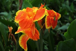 A favorite for over a century, Canna 'Yellow King Humbert' produces a profusion of immense, rich deep yellow flowers, copiously splashed with fiery orange.