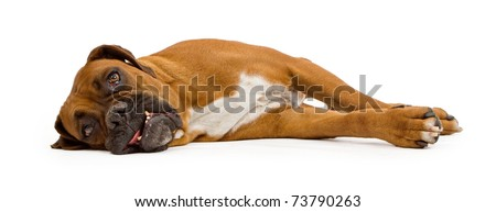 A fawn Boxer dog laying on her side