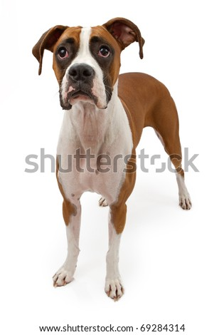 A fawn Boxer dog sitting down and looking up. Isolated on white