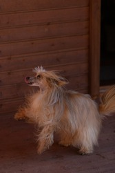 A fawn-colored Chinese Crested dog stands on its hind legs. Downy Chinese Crested.