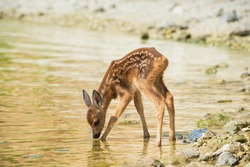 a fawn drinks water on the river Bank, Russia, Saratov region, Volga river