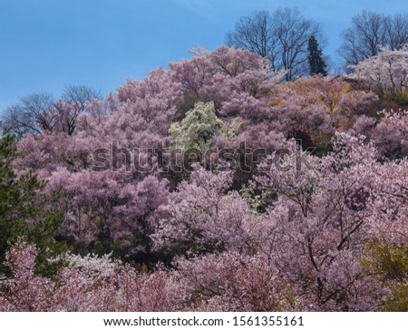 A feast of cherry blossoms and cherry blossoms (Hanamiyama Park, Japan)TogenkyoSpring landscape