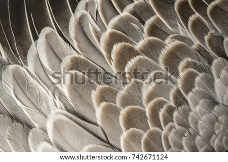 a feathers texture closeup in the detail
