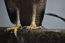 A feet/claws of a crested serpent eagle. It is a famous and common bird in Asia