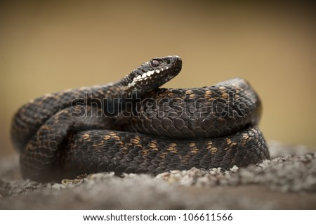 A female Adder wrapped in her own coils, set against a smooth background. - stock photo