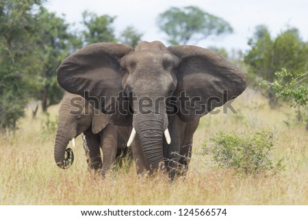 A female African Elephant (Loxodonta africana) with her calf, in South Africa's Kruger Park