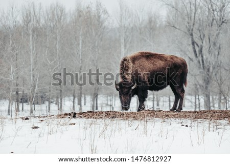 A female American Bison or American Buffalo grazing on hay surrounded by snow in Jester Park, Iowa, USA during the winter.