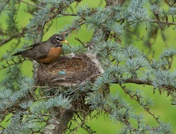 A Female American Robin in Her Nest with Her Newly Laid Eggs