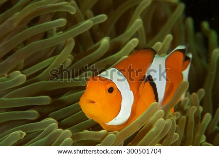 A female Anemone fish in its Anemone #300501704