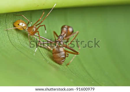 A female Ant-mimic spider with weaver ants