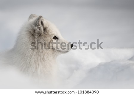 A female Arctic Fox ventures out of her snow den to begin her daily search for food.  It's February, and her wonderful winter coat camouflages well against the winter snow.