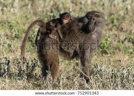 A female baboon and her baby carefully watch us as we enjoy spending time with a large troop of primates.