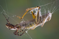 A female banded argiope spider is biting a hopper caught in her web.