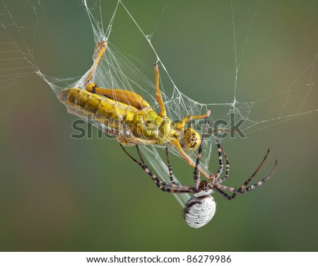 A female banded argiope spider is wrapping up a grasshopper in silk after trapping him in her web. - stock photo