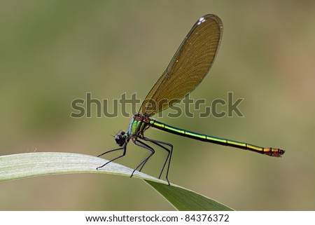 A Female Banded Demoiselle (Calopteryx splendens) in the early morning