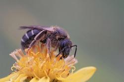 A female banded sweat bull-headed furrow bee (Lasioglossum zonulum) on a yellow flower of common ragwort (Senecio Jakobaea)