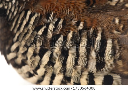 A female  barred buttonquail or common bustard-quail (Turnix suscitator) isolated on white background Photo stock ©