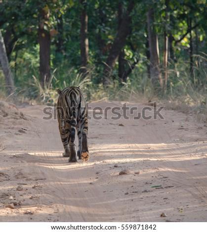 A Female Bengal Tiger.Image taken during a game drive at Bandhavgarh national park in the state of Madhya Pradesh in India.Scientific name- Panthera Tigris #559871842