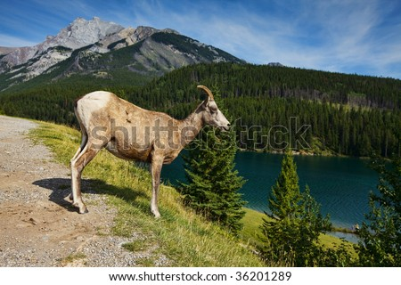 A female big horned sheep standing on the hill side in the rocky mountains