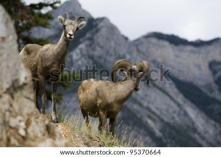 A female bighorn sheep watches the camera while the male surveys the mountain terrain. Photo shot in Banff National Park, Alberta, Canada.