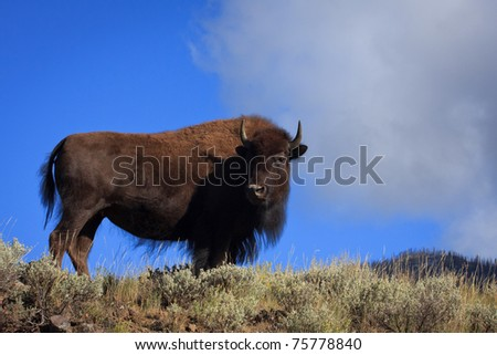 A female bison standing on the edge of a hillside in Yellowstone National Park.