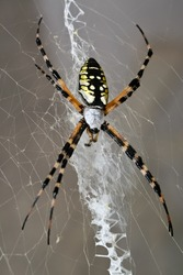 A female black and yellow garden spider sitting on her web.