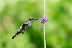 A female Black-throated Mango hummingbird (Anthracothorax nigricollis) feeding on a purple Vervain flower with a bokeh background. Bird in flight. Tropical bird. hummingbird hovering.
